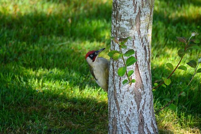 Green Woodpecker, Bird, Nature, Animal, Fauna, Green