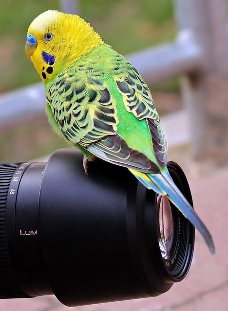 Budgie, Bird, Green, Yellow, Green-yellow