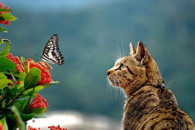 Cai Long Yu, Green-spotted Swallowtail, Cat