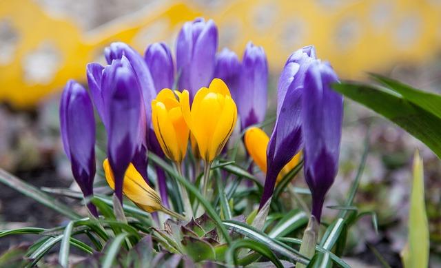 Flowers, Crocuses, Spring, Greens, Purple, Blue, Yellow