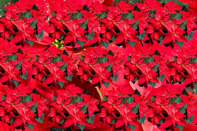 Poinsettia, Christmas, Flower, Greeting Card