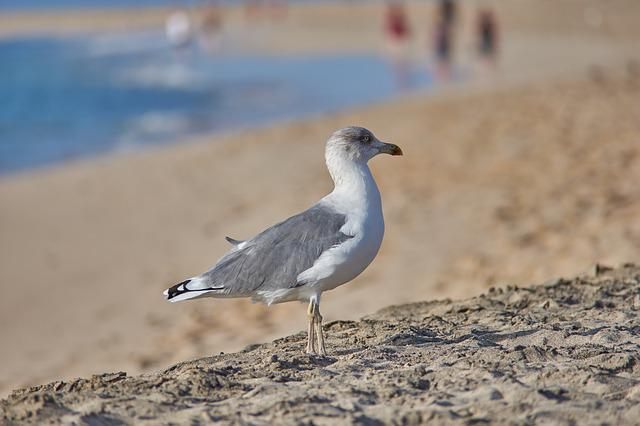 Sea, Gull, Beach, Bird, Water Bird, White, Grey