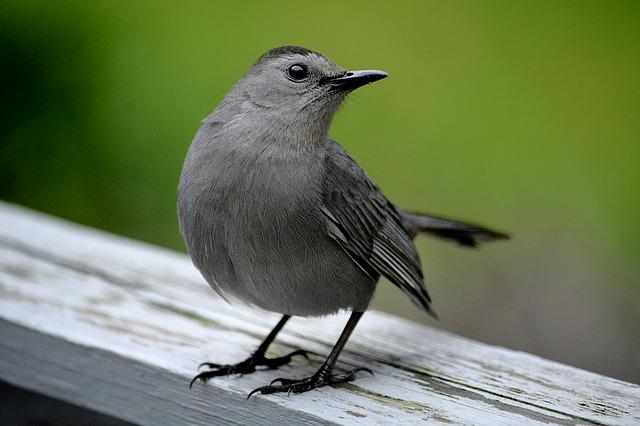 Catbird, Grey Bird, Wildlife, Songbird, Ornithology