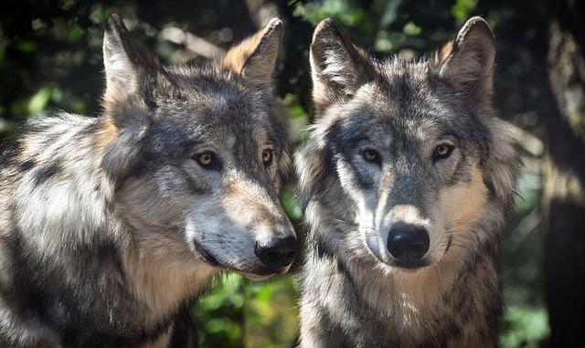 Wolf, Two, Animals, Wild, Predator, Grey, Canine, Lupus