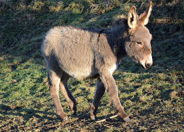 Donkey, Colt, Grey, Ride Horses, Hiking, Animal