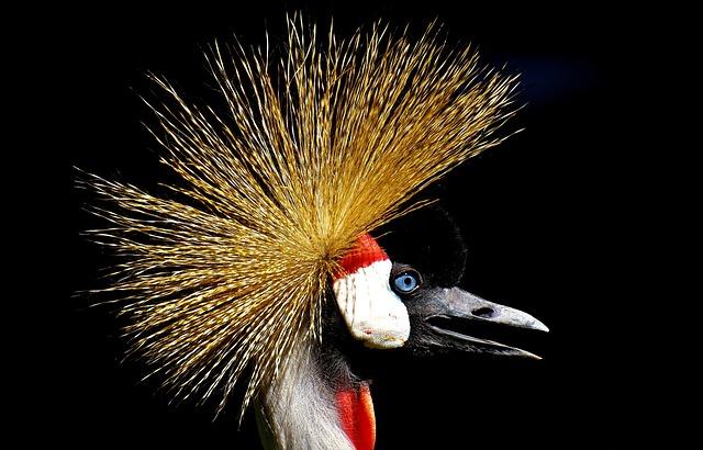 Grey Crowned Crane, Baleurica Regulorum, Bird, Feather