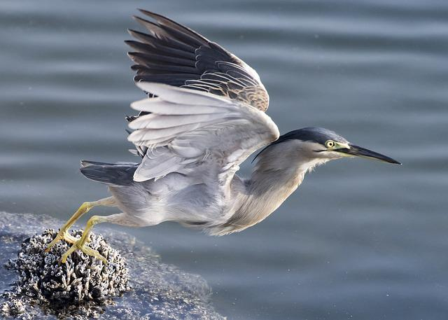 Taking Off, Heron, Bird, Nature, Flying, Wildlife, Grey