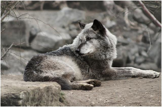 Wolf, Wolves, Grey, Watch, Concerns, View, Fur