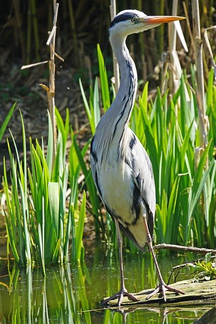 Grey Heron, Heron, Eastern, Water, Animal World, Hunter
