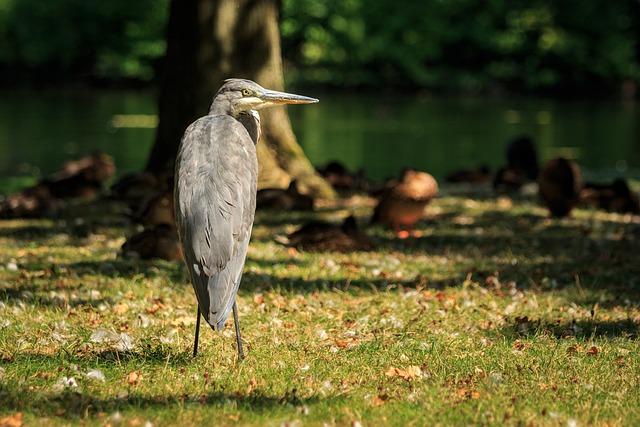 Grey Heron, Heron, Bird, Animal, Nature, Bonn, Rheinaue
