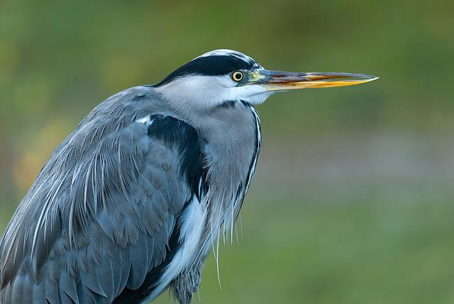 Heron, Bird, Grey Heron, Animal, Bill, Eye, Sharp