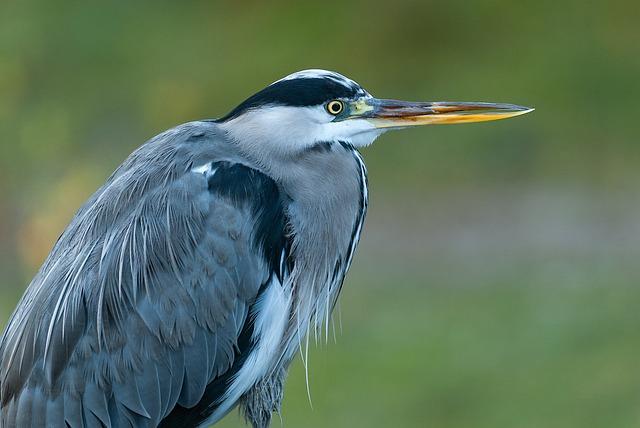 Heron, Bird, Grey Heron, Animal, Bill, Eye, Sharp