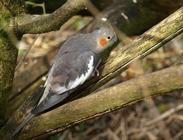Cockatiel, Parakeet, Bird, Grey, Nymphicus Hollandicus