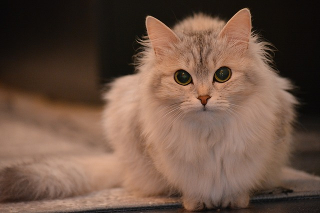 Cat, Animal, Pet, View, Fluffy Cat, Grey, Animals