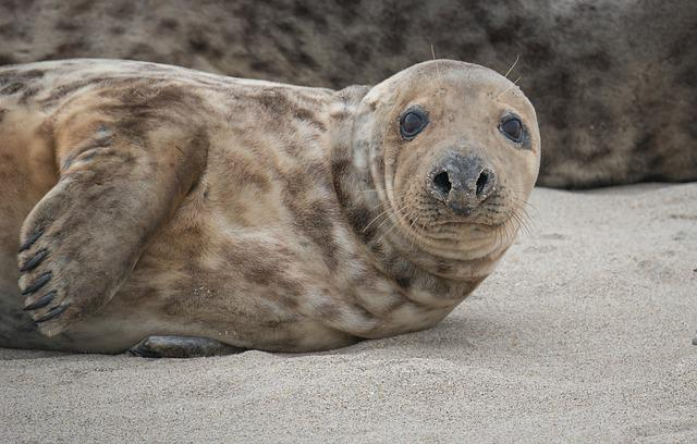 Grey Seal, Beach, Helgoland, North Sea, Meeresbewohner