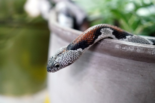 Grey-banded, Snake, Serpent, Pet, Reptile
