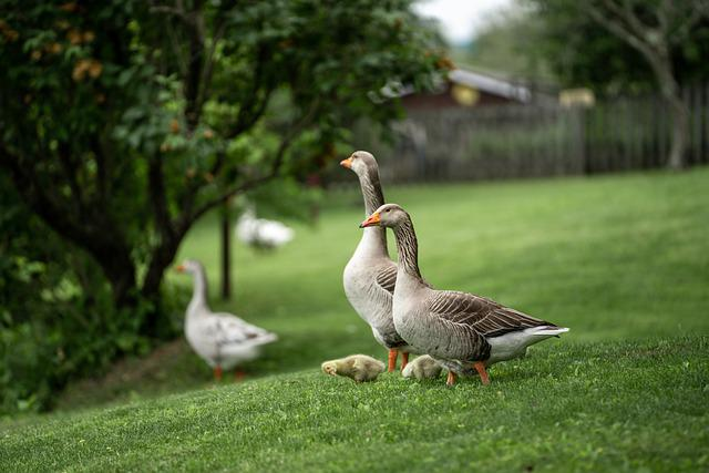 Greylag Geese, Goslings, Meadow, Geese, Chicks
