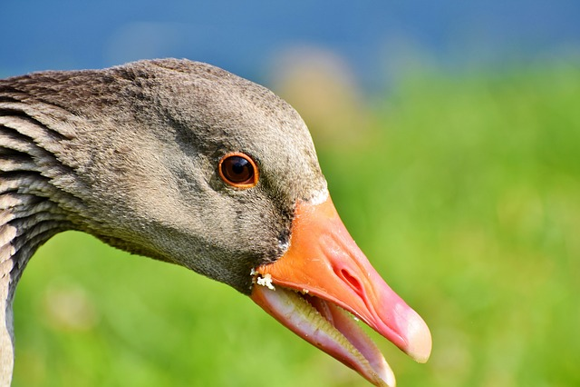 Goose, Wild Goose, Greylag Goose, Water Bird, Poultry