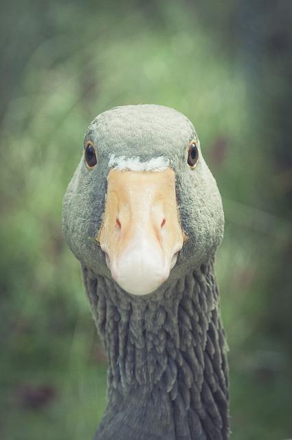 Greylag Goose, Bill, Animal, Goose, Bird, Poultry