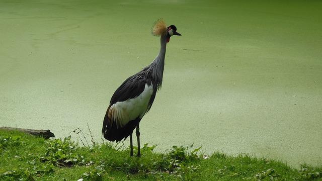 Grijze Kroonkraan, Kraanvogel, Vogel, Dier, Natuur