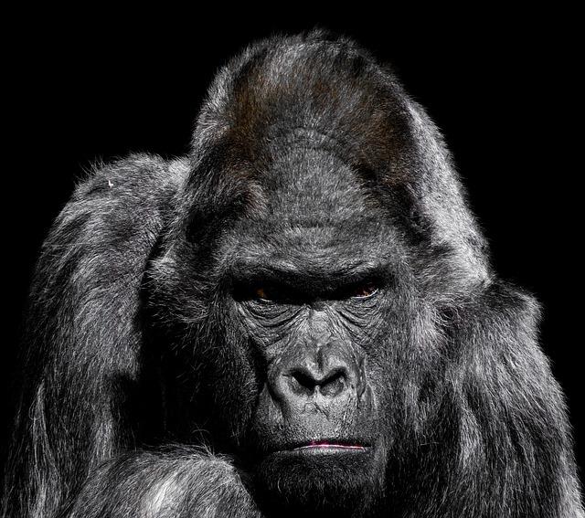 Gorilla, Monkey, Ape, Zoo, Silverback, Grim, Watch