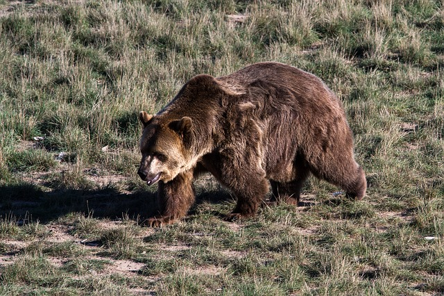 Grizzly Bear, Brown Bear, Grizzly, Bear, Predator
