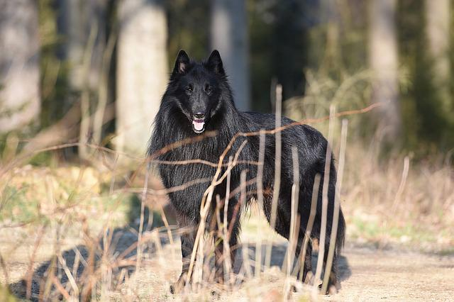 Dog, Portrait, Belgian Shepherd Dog, Groenendael, Black