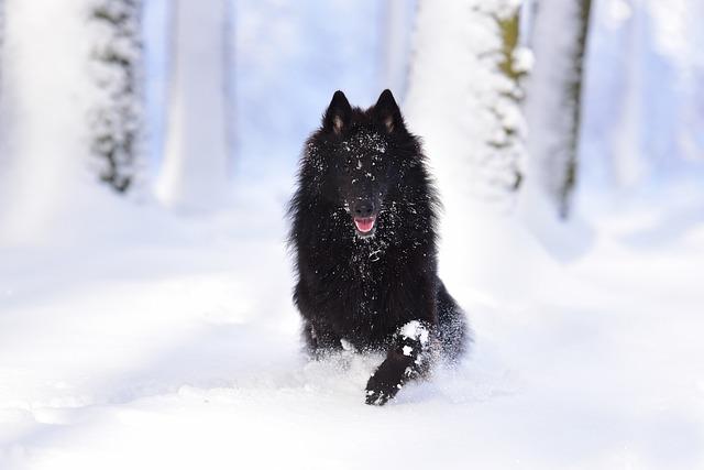 Dog, Belgian Shepherd Dog, Groenendael, Running Dog