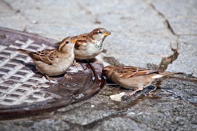 Sparrow, Bird, Drink, Water, Ground, Close Up, Cute
