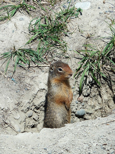Ground Squirrel, Rodent, Mammal, Animal, Wild Life