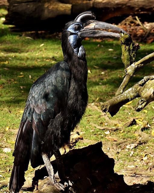 Ground-hornbill, Bird, Plumage, Zoo, Animal