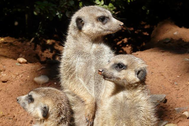 Meerkat, Family, Attention, Animals, Group