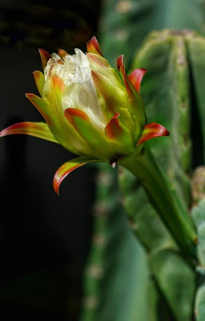 Cactus, Flower, White, Growing, Close-up, Blooming
