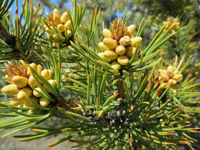 Trees, Pine, Needles, Pine Cones, Branch, Growth, Green