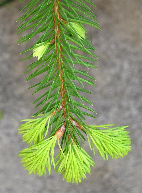 Young Fir Drove, Spring, Fir Grows, Growth, Green