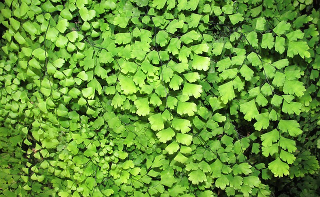 Maiden Hair Fern, Leaf, Flora, Nature, Growth