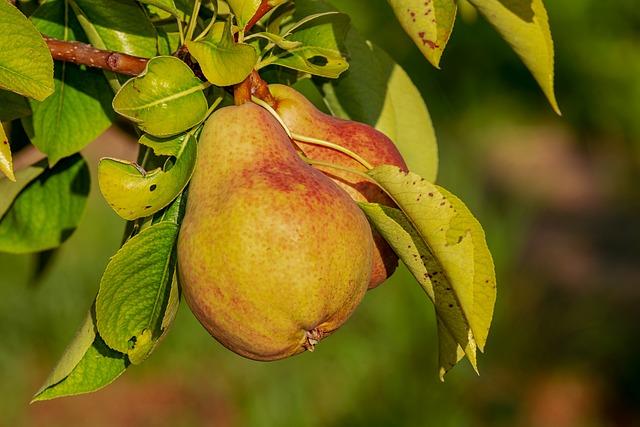 Pear, Immature, Fruit, Growth, Kernobstgewaechs