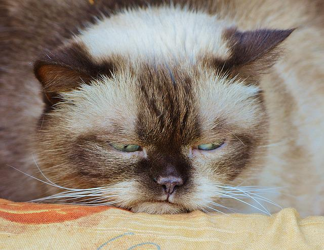 Cat, British Shorthair, Grumpy, Offended, Funny