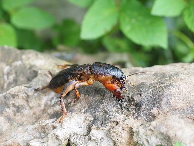 Mole Cricket, Gryllotalpidae, Grasshopper