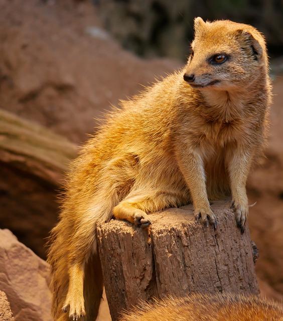 Animal, Fuchsmanguste, Curious, Guard, Males, Fur, Sit