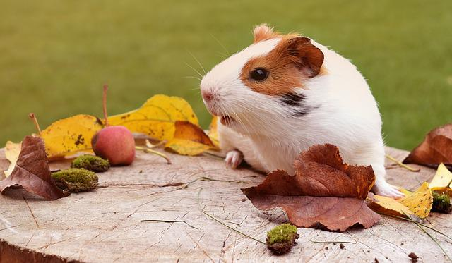 Guinea Pig, Pig, Fuzz, Autumn, Animal, Guinea, Pet