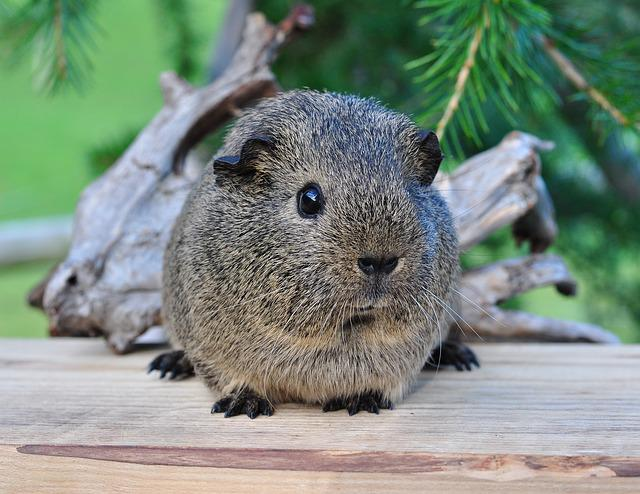 Guinea Pig, Smooth Hair, Black-cream-agouti