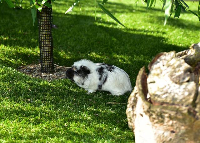 Guinea Pig House, Cavia Porcellus, Guinea Pig, Caviidae