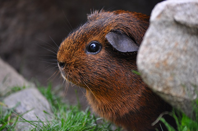 Guinea Pig, Rodent, Cute, Eyes, Fur, Smooth Hair