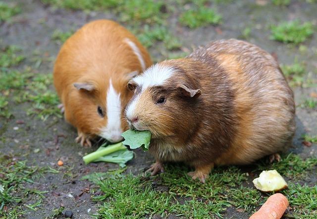 Guinea Pig, Guinea Pig House, Cavia Porcellus Form