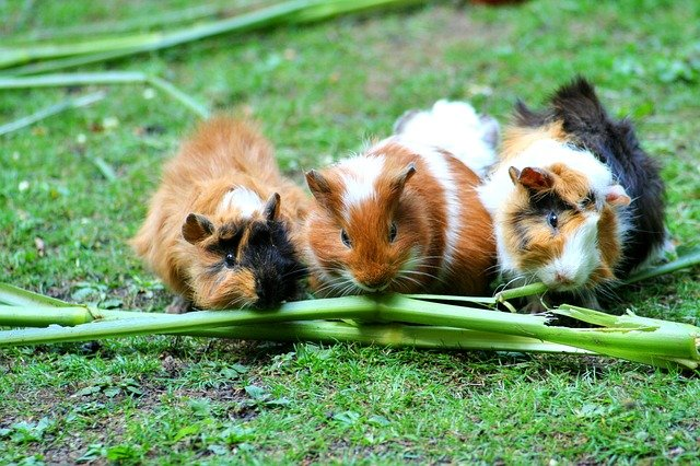 Guinea Pig, Sea ​​pig House, Cute, Guinea Pig House
