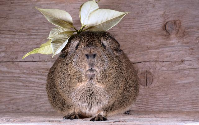 Guinea Pig, Smooth Hair, Lemonagouti, Pet, Blossom