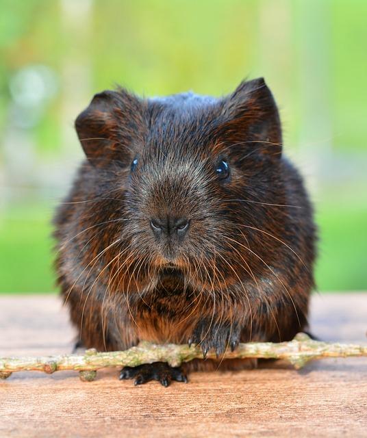 Gold Agouti, Guinea Pig, Pet, Nager, Rodent, Animal