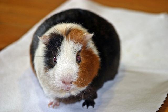 Guinea Pig, Amanda, From The Front, Smooth Hair
