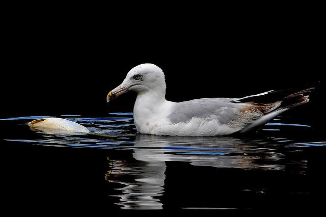 Gull, Carp, Lake, Water, Bird